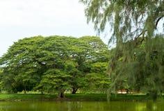träd i tempelkomplexet vilken Maha That i Ayutthaya Fotografering för Bildbyråer