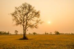 Träd i torr säsong på soluppgångbakgrund i Thailand Royaltyfri Fotografi