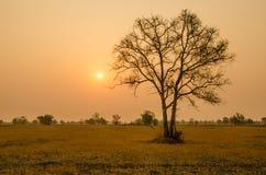 Träd i torr säsong på soluppgångbakgrund i Thailand Royaltyfri Bild