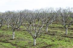 Träd i trädgården på våren Nakna fruktträd royaltyfri bild