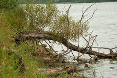Träd i vattnet längs lakeshore royaltyfria bilder