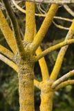 Träd i vinter med ingen sidor och gul lav på skäll Royaltyfri Bild