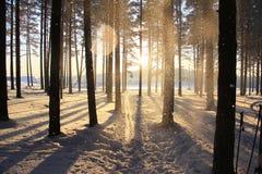 Träd i vinterskog i solljuset Arkivfoton