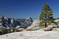 Träd i Yosemte Arkivbild