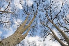 Träd inga sidor Royaltyfria Bilder