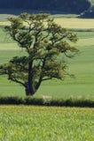 Träd inom sommarlandskap Royaltyfri Foto