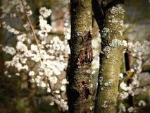 Träd - körsbärsröda blomningar för skäll Arkivfoto