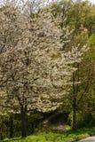 Träd med att blomstra vita blommor i vårträn, Stuttgar Arkivbilder