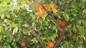 Träd med blomningar och apelsiner Fotografering för Bildbyråer