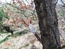Träd med den inympade filialen royaltyfria foton