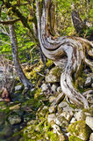 Träd med den unika krökta stammen på flodstranden arkivfoton