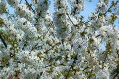 Träd med den vita blomningen i Front Blue Sky arkivbilder