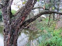 Träd med det ovanliga skället nära vattnet Royaltyfri Foto