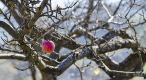Träd med en enkel frukt Arkivfoto