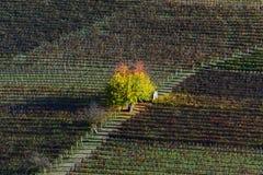 Träd med färgrika sidor i mitten av en höstvingård Arkivfoto