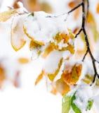 Träd med färgrika snöig höstliga sidor royaltyfri foto
