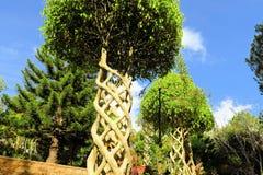Träd med filialer som flätas samman som spiral i trädgård royaltyfri foto