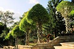 Träd med filialer som flätas samman som spiral i trädgård royaltyfri bild