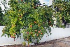 Träd med granatäpplen Vitt staket Grekland Höst Royaltyfri Bild