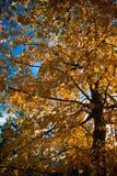 Träd med guling och orange nedgångsidor med himmelbakgrund Arkivfoto