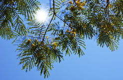 Träd med gulingblommor och skensolen Arkivfoton