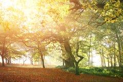 Träd med höst färgar tidigt på morgonen mist Royaltyfri Foto