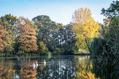 Träd med höstlövverk och svanar som simmar i en sjö royaltyfria foton