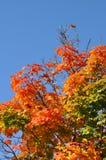 Träd med höstliga sidor Arkivfoton