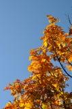 Träd med höstliga sidor Arkivbilder