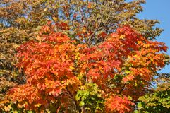 Träd med höstliga sidor Royaltyfri Fotografi