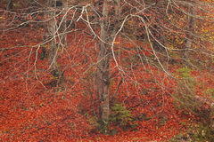 Träd med inga sidor i sen höst Arkivfoto