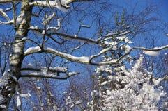 Träd med insnöad vinter Arkivfoton