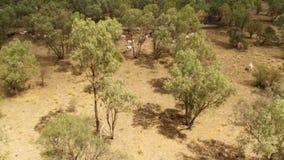 Träd med kor på jordningen i antennskott arkivfilmer