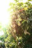 Träd med mango på solnedgången royaltyfria foton