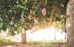 Träd med mango på solnedgången arkivfoton