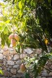 Träd med mango på solnedgången royaltyfri bild