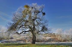 Träd med mistel Royaltyfria Bilder