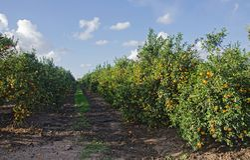 Träd med mogna apelsiner Arkivfoton
