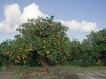 Träd med mogna apelsiner Royaltyfri Foto