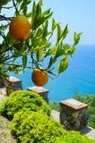 Träd med mogna apelsiner på bakgrunden av havet Royaltyfri Fotografi