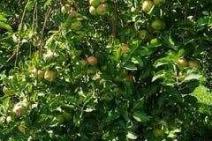 Träd med mognande äpplen Royaltyfria Foton