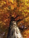 Träd med nedgångfärger Arkivbilder