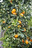 Träd med nya apelsiner Royaltyfri Bild