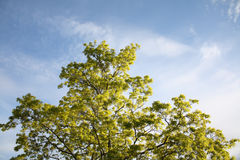 Träd med nya gröna sidor royaltyfria foton