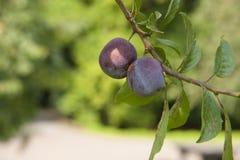Träd med nya plommoner Arkivbilder
