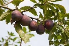 Träd med nya plommoner Arkivfoto