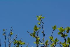 Träd med nya sidor Arkivfoto
