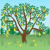 Träd med päron i en äng Royaltyfria Foton