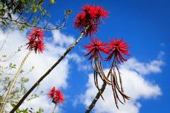 Träd med röda blommor (erythrinaen) Arkivbild