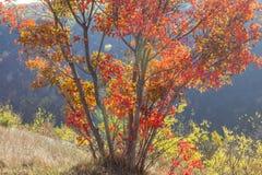 Träd med röda filialer arkivfoton